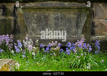 Various colours of Spanish Bluebells growing in front of a gravestone. - Stock Photo