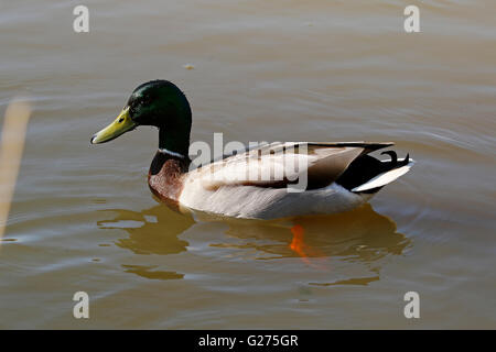 Waterfowl inhabit Stover Park in Newton Abbot, a lovely safe place for them to live in peace with people walking - Stock Photo