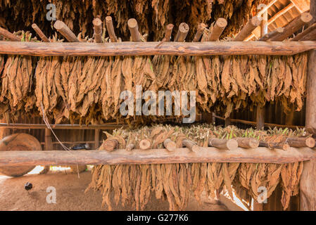 Tobacco leaves drying in a shed, Cuba - Stock Photo