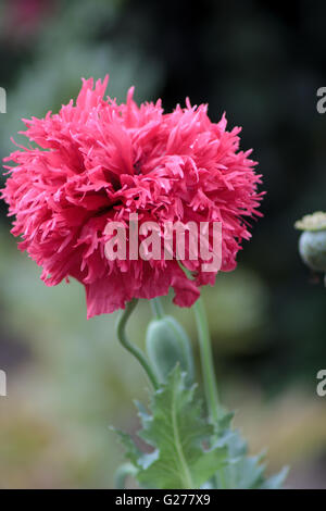 Pink European Peony