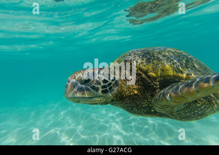A close up view of a green sea turtle swimming in the ocean. - Stock Photo