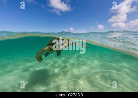 An over under view of a Hawaiian green sea turtle in the ocean swimming. - Stock Photo