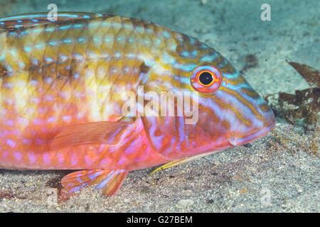 Goatfish Upeneichthys lineatus - Stock Photo