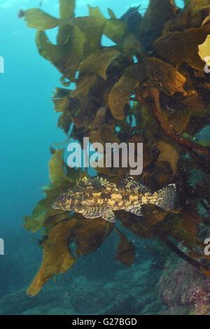 Kelpfish Chironemus marmoratus - Stock Photo