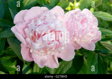Close up of two pink Peony flowers - Stock Photo