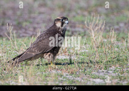 Lanner Falcon (Falco biarmicus), young, Liuwa Plain National Park, Northwestern Province, Zambia - Stock Photo
