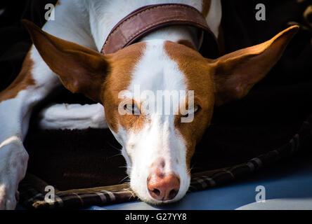 closeup portrait of Greyhound hybrid dog on the ground - Stock Photo