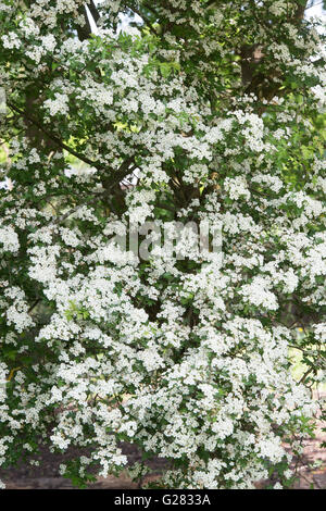 Crataegus monogyna. Hawthorn Flowering in the English Countryside - Stock Photo