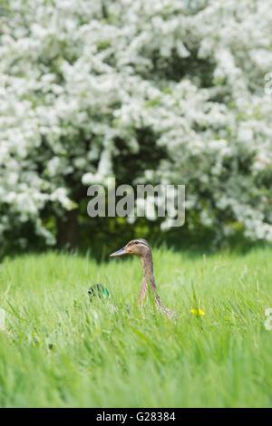 Anas platyrhynchos. Female mallard duck in long grass - Stock Photo