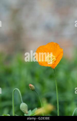 Meconopsis cambrica. Orange Welsh Poppy flower in a garden border. UK - Stock Photo