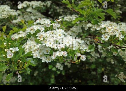 Hawthorn ( Crataegus Monogyna ) in blossom - Stock Photo