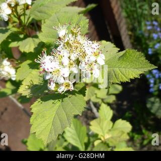 Hawthorn, Crataegus monogyna branch with flowers. Sunny weather - Stock Photo