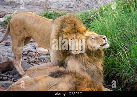 Male African Lions, Panthera leo, showing affection, Masai Mara National Reserve, Kenya, Africa - Stock Photo