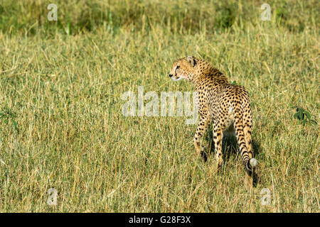 Solitary Adult Wild Cheetah, Acinonyx  jubatus, Walking, Looking for prey, Masai Mara National Reserve, Kenya, East - Stock Photo