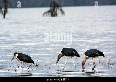 Three Marabou Storks, Leptoptilos crumeniferus, walking in Lake Nakuru, Nakuru National Park, Kenya, East Africa - Stock Photo