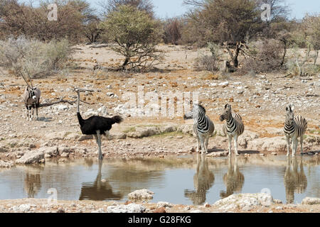 Oryx, male ostrich and zebras at a waterhole in Etosha National Park, Namibia - Stock Photo