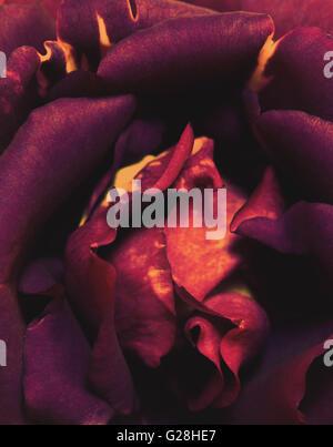 artistic purple wild rose macro - Stock Photo