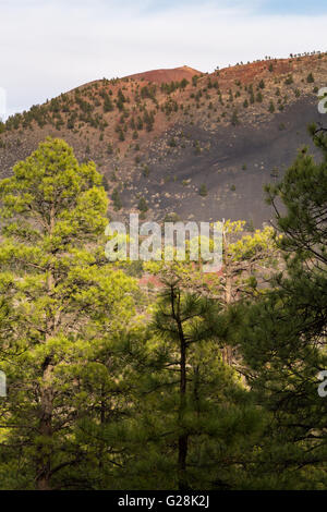 Ponderosa pine trees growing in a lava rock field. Sunset Crater National Monument, Arizona - Stock Photo