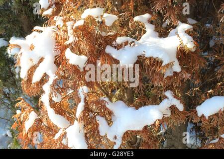 Snow on thuya - Stock Photo
