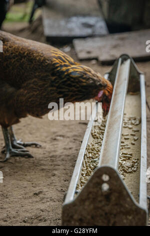 Free range chickens on a farm - Stock Photo