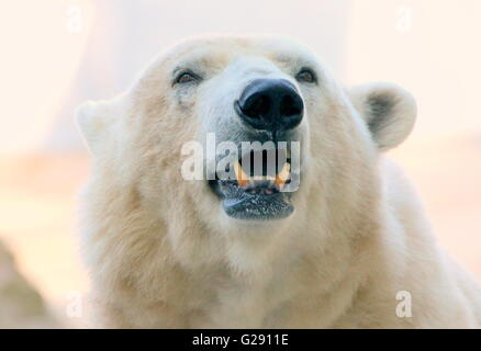 Close up of the head of a growling mature male polar bear (Ursus maritimus), low point of view - Stock Photo