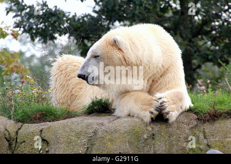 Mature male polar bear (Ursus maritimus) chilling out, paws folded - Stock Photo