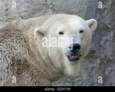 Closeup of the head of a mature male polar bear (Ursus maritimus) snarling and baring teeth, facing the camera - Stock Photo