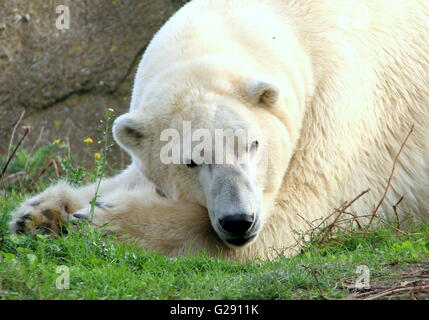 Mature male polar bear (Ursus maritimus) chilling out, paws folded, lying down. - Stock Photo