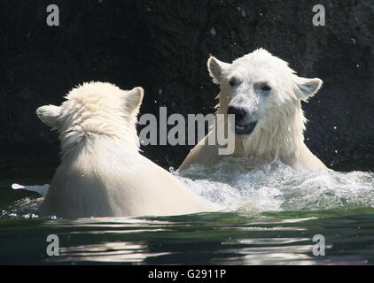 Two feisty Polar bear cubs (Ursus maritimus, a male and a female) playing and fighting each other in the water - Stock Photo
