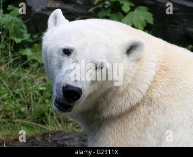 Cheeky female polar bear (Ursus maritimus) closeup of the head - Stock Photo