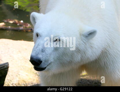 Closeup of the head of an mature female polar bear (Ursus maritimus) - Stock Photo