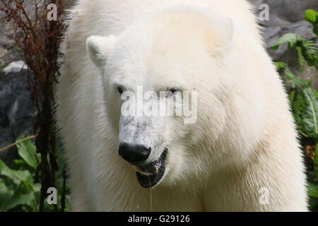Closeup of the head of an mature polar bear (Ursus maritimus) snarling and drooling - Stock Photo