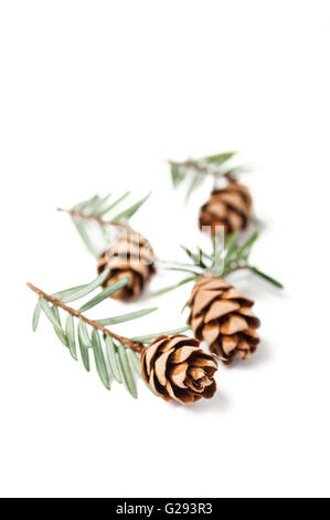 Young fir cones isolated on white background - Stock Photo
