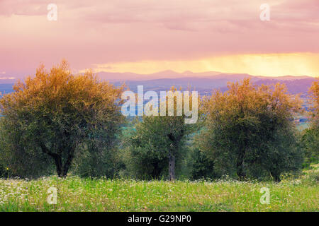 Olive trees in stormy weather, Tuscany, Italy - Stock Photo