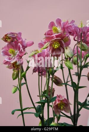 aquilegia winky rose - Stock Photo