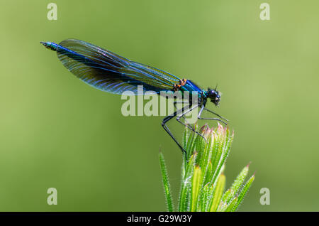 Banded demoiselle (Calopteryx splendens) male. Damselfly with dark band across centre of wings and metallic blue - Stock Photo