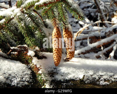 two brown spruce cones on a branch - Stock Photo