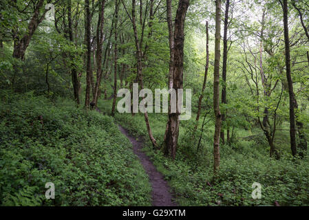An English woodland in early summer. A narrow path leads between the Silver Birch trees and greenery. - Stock Photo