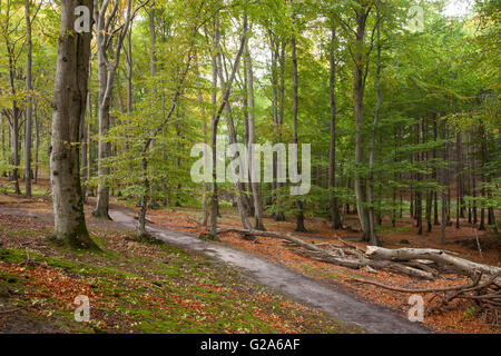 Path through the beech forest, Jasmund National Park, Rügen, Mecklenburg-Vorpommern, Germany - Stock Photo