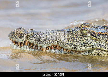 Nile Crocodile (Crocodylus niloticus), Zambezi river, southern Zambia - Stock Photo