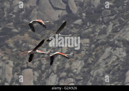 The Greater Flamingo, Phoenicopterus roseus, Jawai Bundh Dam, Rajasthan, India - Stock Photo