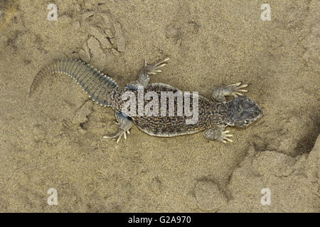 SPINY-TAILED LIZARD, Uromastyx Sam Desert, Rajasthan, India - Stock Photo
