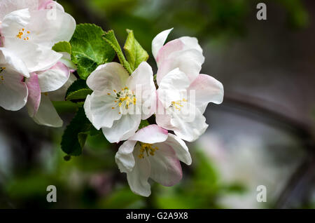 Close up of an Apple blossom - Stock Photo