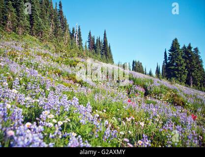 Amazing Wild flowers paradise,Mt Rainier NP - Stock Photo