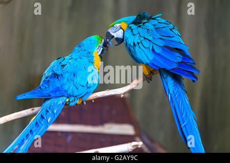 A couple of loving macaws