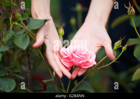 Closeup of woman's hands holding pink rose - Stock Photo