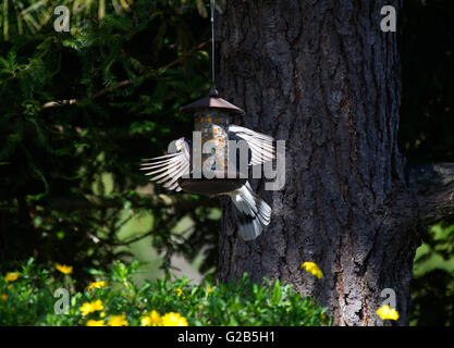 Band tailed Pigeon - Stock Photo