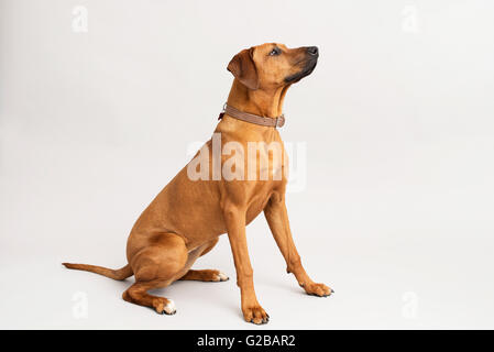 dog looking sitting down  during training - Stock Photo