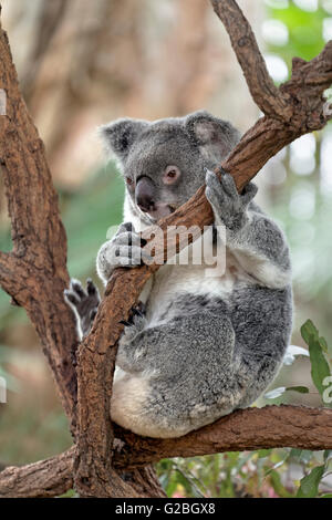 Koala (Phascolarctos cinereus) sitting on tree branch in the tree, Brisbane, Queensland, Australia - Stock Photo