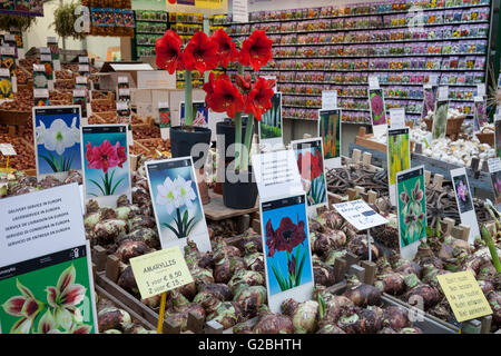 Flower bulbs at the flower market, Amsterdam, North Holland province, Netherlands - Stock Photo